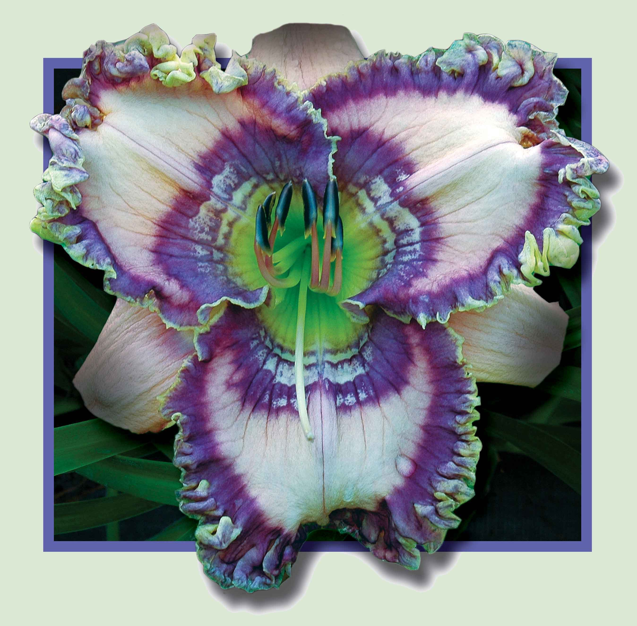 Daylily Cobalt Rings
